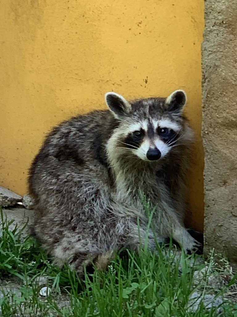 racoon at Touroparc Zoo