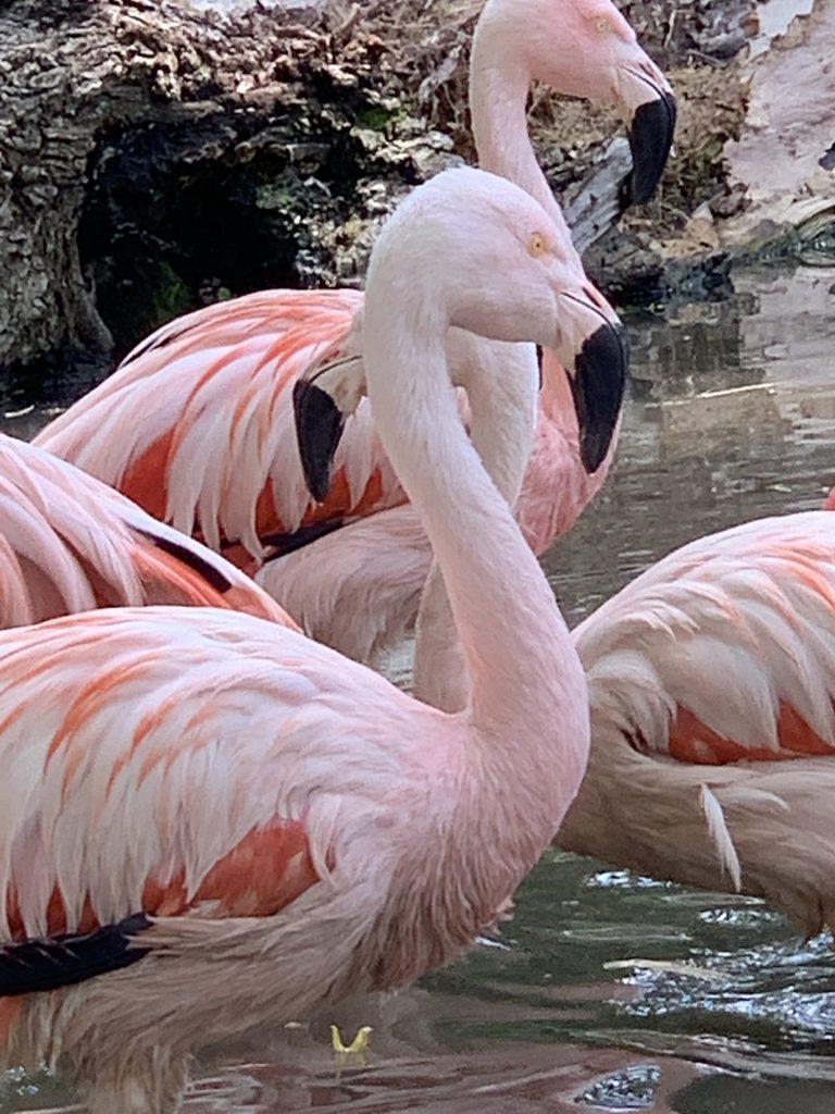 flamingo at Touroparc Zoo