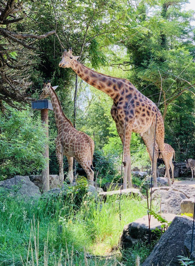 giraffe at Touroparc Zoo