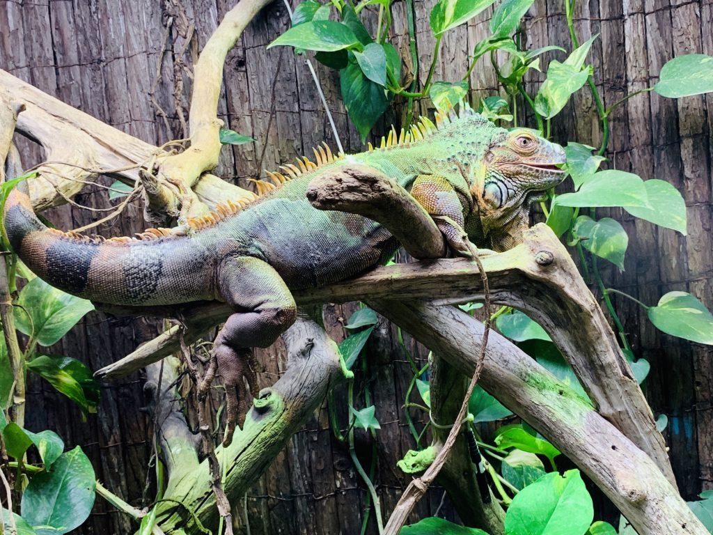 iguana at Touroparc Zoo